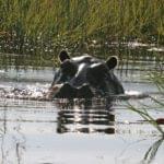 Voyage Botswana Hippopotames dans le delta de l'Okavango