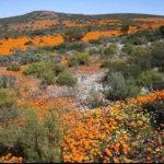 Namaqua National Park saison des fleurs en Afrique du Sud
