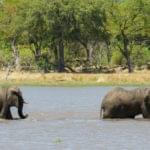 Eléphants traversant la rivière Chobe au Botswana