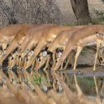 Impala buvant sur un point d'eau au parc Kruger - voyage Afrique du Sud