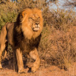 Lion du Kalahari Kgalagadi Transfrontier Park 4X4 équipé camping
