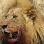 Lion dans la savane du parc de Moremi au Botswana