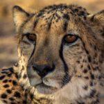 Circuit 4x4 lune de miel guépard namibie