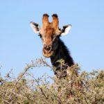 girafe parc Circuit camping Voyage Namibie