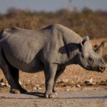 rhinoceros Safari camping Afrique Australe