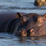 hippopotame Safari camping Afrique Australe