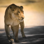 Circuit 4x4 safari lodges lion etosha