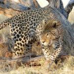 leopard voyage Namibie