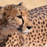 guépard parc etosha