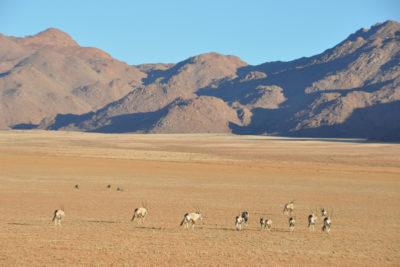 Oryx sur la réserve de Wolwedans