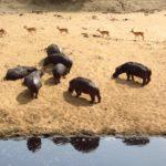 Hippopotames dans le parc Kruger