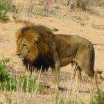Lion dans le parc Kruger en Afrique du Sud