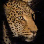 Léopard de nuit au parc Kruger