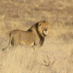 Lion à crinière nord dans le Kgalagadi Transfrontier Park en Afrique du Sud